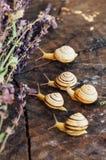 Κίτρινα σαλιγκάρια που περπατούν γύρω από τον κήπο Σαλιγκάρι στο δέντρο στο θόριο Στοκ φωτογραφία με δικαίωμα ελεύθερης χρήσης