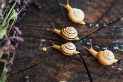 Κίτρινα σαλιγκάρια που περπατούν γύρω από τον κήπο Σαλιγκάρι στο δέντρο στο θόριο Στοκ Φωτογραφία