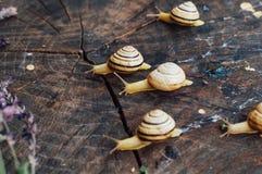 Κίτρινα σαλιγκάρια που περπατούν γύρω από τον κήπο Σαλιγκάρι στο δέντρο στο θόριο Στοκ Εικόνες