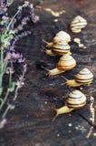 Κίτρινα σαλιγκάρια που περπατούν γύρω από τον κήπο Σαλιγκάρι στο δέντρο στο θόριο Στοκ Εικόνα