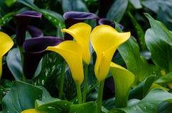 Κίτρινα τρία λουλούδια κρίνων της Calla στον πολύβλαστο κήπο λουλουδιών στοκ εικόνες