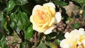 Κίτρινα τριαντάφυλλα σε μια κινηματογράφηση σε πρώτο πλάνο κήπων απόθεμα βίντεο