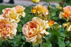 Κίτρινα τριαντάφυλλα στην εποχή άνθισης Στοκ εικόνα με δικαίωμα ελεύθερης χρήσης