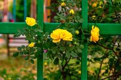 Κίτρινα τριαντάφυλλα στον πράσινο φράκτη στοκ εικόνες