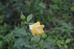 Κίτρινα τριαντάφυλλα το καλοκαίρι φωτογραφία στοκ φωτογραφία με δικαίωμα ελεύθερης χρήσης