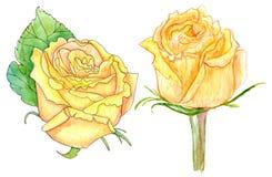Κίτρινα τριαντάφυλλα, ζωγραφική watercolor στο λευκό Στοκ Φωτογραφία