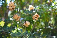 Κίτρινα τριαντάφυλλα με τους Ιστούς αραχνών Στοκ Εικόνες