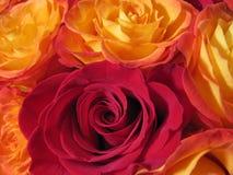 Κίτρινα τριαντάφυλλα πυρκαγιάς στοκ εικόνες