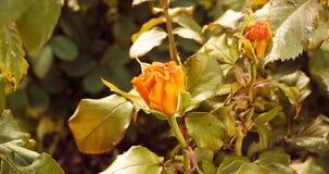 Κίτρινα τριαντάφυλλα στο σύνολο κήπων φθινοπώρου αεροπλάνων απόθεμα βίντεο