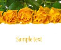 Κίτρινα τριαντάφυλλα Στοκ Εικόνα