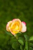 Κίτρινα τριαντάφυλλα Στοκ φωτογραφία με δικαίωμα ελεύθερης χρήσης