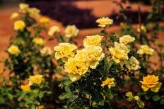 Κίτρινα τριαντάφυλλα Στοκ Φωτογραφίες