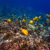 Κίτρινα τροπικά ψάρια του Tang που κολυμπούν στον της Χαβάης σκόπελο Στοκ εικόνα με δικαίωμα ελεύθερης χρήσης