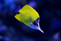 Κίτρινα τροπικά ψάρια Στοκ φωτογραφία με δικαίωμα ελεύθερης χρήσης