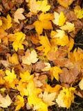 Κίτρινα φθινοπωρινά φύλλα ως υπόβαθρο φύσης στοκ εικόνες