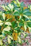 κίτρινα φρούτα νάνου Schefflera, Arboricola Στοκ εικόνα με δικαίωμα ελεύθερης χρήσης