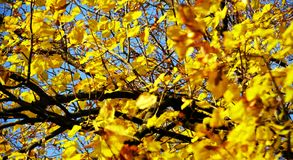 Κίτρινα φύλλα δέντρων φθινοπώρου, θολωμένο φυσικό υπόβαθρο φθινοπώρου οικολογίας στοκ εικόνες με δικαίωμα ελεύθερης χρήσης