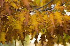Κίτρινα φύλλα δέντρων aok Στοκ φωτογραφία με δικαίωμα ελεύθερης χρήσης