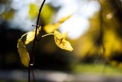 Κίτρινα φύλλα μουριών το φθινόπωρο Στοκ φωτογραφία με δικαίωμα ελεύθερης χρήσης