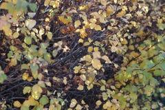 Κίτρινα φύλλα πτώσης σε έναν θάμνο μουτζουρωμένο στοκ φωτογραφία με δικαίωμα ελεύθερης χρήσης