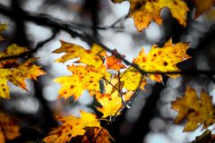 Κίτρινα φύλλα στην ισχυρή αντίθεση Στοκ Εικόνα