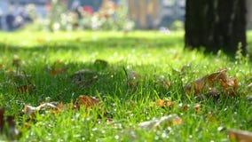 Κίτρινα φύλλα στην πράσινη χλόη απόθεμα βίντεο