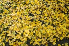 Κίτρινα φύλλα στοκ εικόνες με δικαίωμα ελεύθερης χρήσης