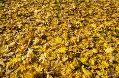 Κίτρινα φύλλα σφενδάμου για το υπόβαθρο στοκ εικόνες