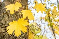 Κίτρινα φύλλα σφενδάμου σε έναν κλάδο σε ένα δάσος φθινοπώρου Στοκ εικόνες με δικαίωμα ελεύθερης χρήσης