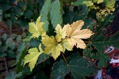 Κίτρινα φύλλα σφενδάμου σε ένα δέντρο στοκ φωτογραφίες