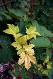 Κίτρινα φύλλα σφενδάμου σε ένα δέντρο στοκ φωτογραφίες με δικαίωμα ελεύθερης χρήσης