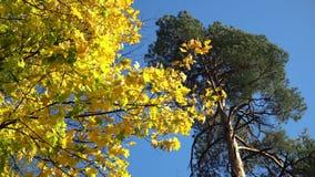 Κίτρινα φύλλα σφενδάμου φθινοπώρου σε ένα δέντρο και έναν μπλε ουρανό απόθεμα βίντεο