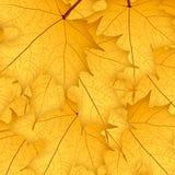 Κίτρινα φύλλα σφενδάμου φθινοπώρου στο κίτρινο υπόβαθρο απεικόνιση Ελεύθερη απεικόνιση δικαιώματος