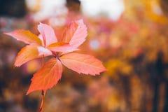 Κίτρινα φύλλα του κισσού στοκ φωτογραφίες με δικαίωμα ελεύθερης χρήσης