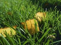 Κίτρινα φύλλα φθινοπώρου στην πράσινη χλόη, μακρο κινηματογράφηση σε πρώτο πλάνο Στοκ Φωτογραφία