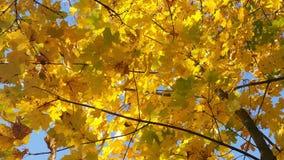 Κίτρινα φύλλα φθινοπώρου Στοκ φωτογραφίες με δικαίωμα ελεύθερης χρήσης