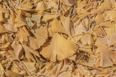 Κίτρινα φύλλα biloba ή maidenhair δέντρων ginkgo στο έδαφος στο autumnl - υπόβαθρο στοκ εικόνες με δικαίωμα ελεύθερης χρήσης