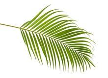 Κίτρινα φύλλα Dypsis φοινικών lutescens ή χρυσός φοίνικας καλάμων, Areca φύλλα φοινικών, τροπικό φύλλωμα που απομονώνεται στο άσπ Στοκ Εικόνες