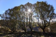 Κίτρινα φύλλα δέντρων λευκών χρωμάτων φθινοπώρου πτώσης Στοκ εικόνες με δικαίωμα ελεύθερης χρήσης