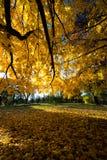 Κίτρινα φύλλα δέντρων σφενδάμνου χρωμάτων φθινοπώρου πτώσης Στοκ εικόνα με δικαίωμα ελεύθερης χρήσης