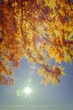 Κίτρινα φύλλα, αναδρομικά φωτισμένα με τον ήλιο Στοκ Φωτογραφία