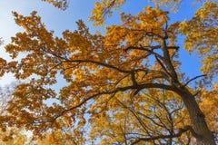 Κίτρινα φύλλα ενάντια στη βαλανιδιά ουρανού Στοκ εικόνες με δικαίωμα ελεύθερης χρήσης