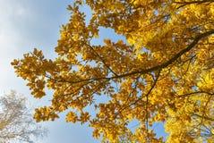 Κίτρινα φύλλα ενάντια στη βαλανιδιά ουρανού Στοκ Εικόνα