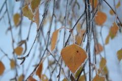 Κίτρινα φύλλα με τα catkins που καλύπτονται με το χιόνι και hoarfrost στοκ εικόνα με δικαίωμα ελεύθερης χρήσης