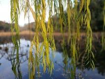 Κίτρινα φύλλα που κρεμούν πριν από τη λίμνη ένα ηλιόλουστο απόγευμα στοκ φωτογραφία