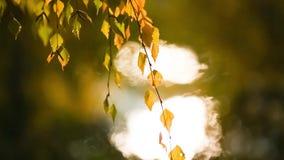 Κίτρινα φύλλα που ταλαντεύονται στον αέρα στο πάρκο φθινοπώρου στο ηλιοβασίλεμα φιλμ μικρού μήκους