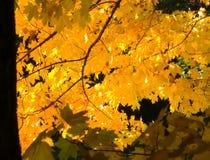 Κίτρινα φύλλα στην εποχή πτώσης Στοκ Εικόνες