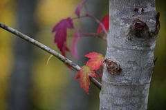 Κίτρινα φύλλα σφενδάμου που γίνονται κόκκινα το φθινόπωρο Στοκ εικόνα με δικαίωμα ελεύθερης χρήσης