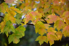 Κίτρινα φύλλα σφενδάμου που γίνονται κόκκινα Στοκ Φωτογραφία