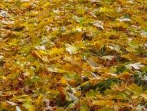 Κίτρινα φύλλα σφενδάμου στην πράσινη χλόη, χρυσό υπόβαθρο φθινοπώρου Στοκ εικόνες με δικαίωμα ελεύθερης χρήσης